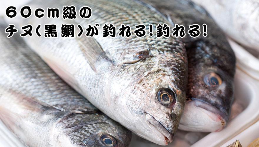 60cm級のチヌ(黒鯛)が釣れる!釣れる!